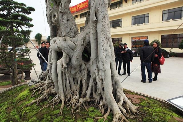 Nhiều rễ phủ xuống cắm xuống đất tạo thành nhiều hang hốc