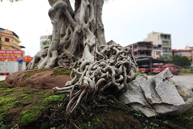 Các rễ  xoắn vào nhau tạo thành một rễ cây lớn nổi bật dưới gốc cây