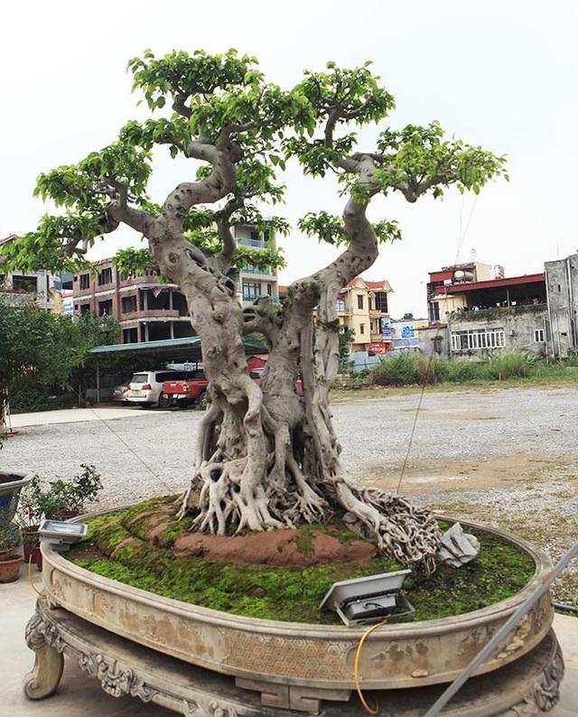 Ông Nam còn bố trí hai chiếc đèn công suất cao hắt từ gốc lên để du khách có thể ngắm cây vào ban đêm