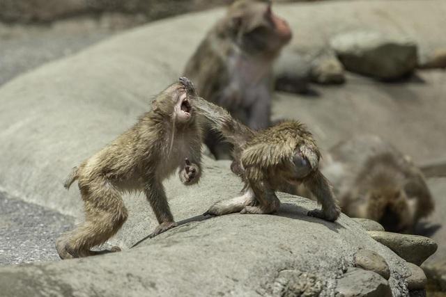 Khỉ đánh nhau như võ sĩ khiến nhiếp ảnh gia kinh ngạc - 3