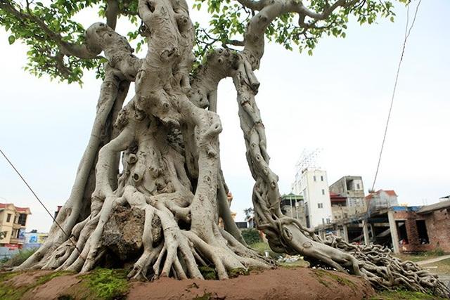Hai chiếc rễ to buông xuống hai bên thân cây nhìn như một chiếc ngai vàng (nghế ngồi của vua)