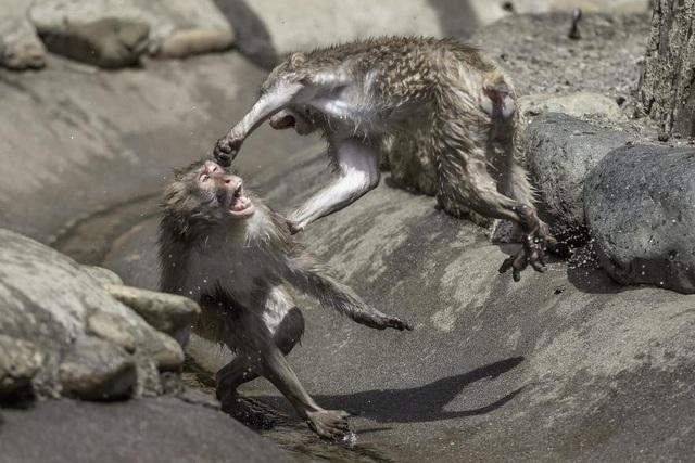 Khỉ đánh nhau như võ sĩ khiến nhiếp ảnh gia kinh ngạc - 4