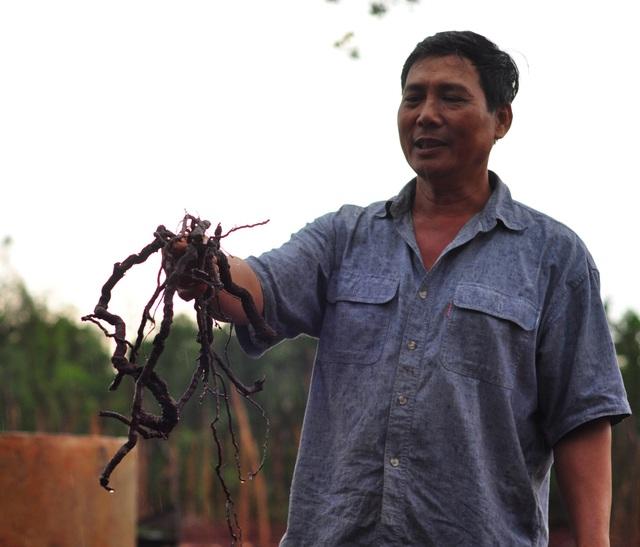 Sau một thời gian ngắn tạm dừng, hiện các thương lái đã tiếp tục gom mua rễ tiêu của người dân