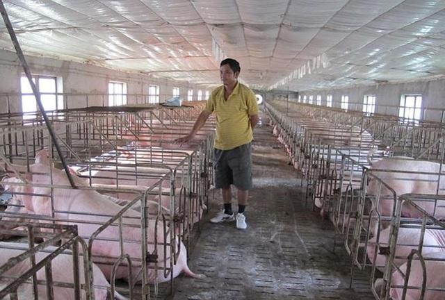 Cục Chăn nuôi khuyến cáo, dù giá lợn hơi đang lên song người dân cũng nên tính toán, tránh vào đàn ồ ạt.
