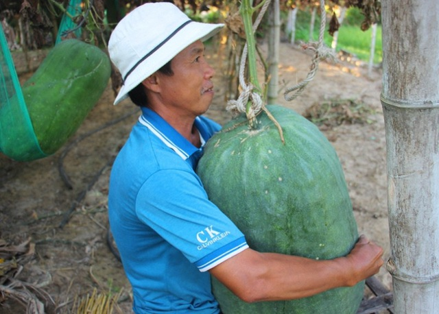 """Bí đao khổng lồ ở Bàu Chánh Trạch có lẽ là """"độc nhất vô nhị"""" ở Việt Nam. Tuy nhiên, đến nay đến nay vẫn chẳng có một thương hiệu để người dân phát triển và gìn giữ giống bí kỳ lạ này. Hiện người dân ở Bàu Chánh Trạch đang lo lắng nếu giá bí đao rẻ thì người dân sẽ chuyển sang trồng cây trồng khác. Nếu vậy, chẳng bao lâu, giống bí đao khổng lồ này sẽ biến mất."""
