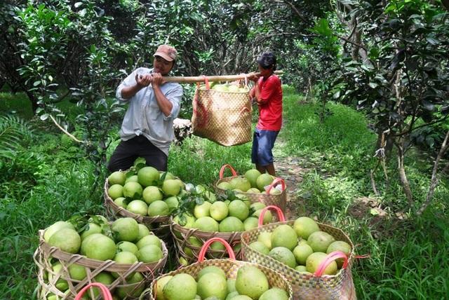 """Bưởi Việt Nam luôn là loại trái cây được nhiều thị trường trên thế giới ưa chuộng và """"săn đón""""."""