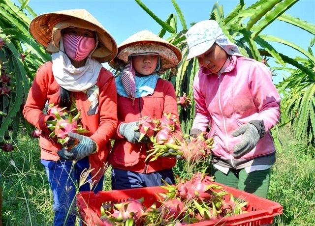 Thanh long là loại trái cây mang lại giá trị kinh tế cao cho nông dân miền Nam.