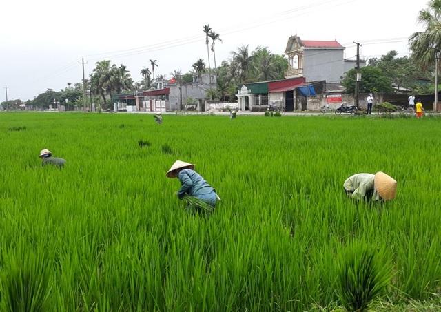 Người dân đi nhổ lúa ma