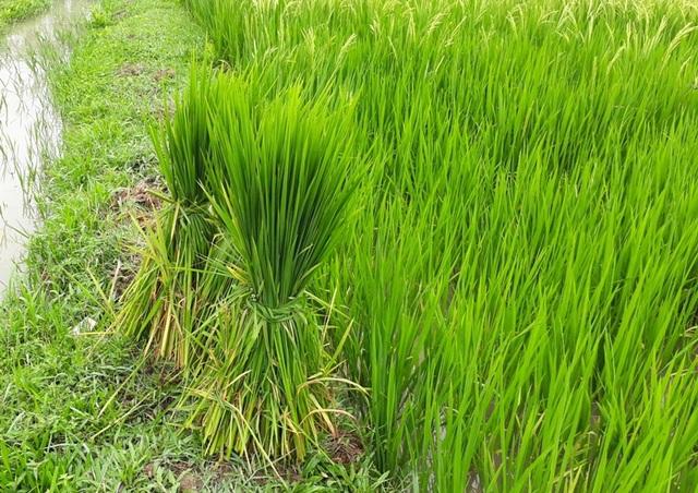 Người dân phải thường xuyên đi nhổ lúa ma