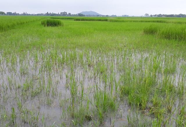 Nhiều hộ nông dân trên địa bàn xã Quảng Long điêu đứng vì hiện tượng lúa ma suốt nhiều năm qua