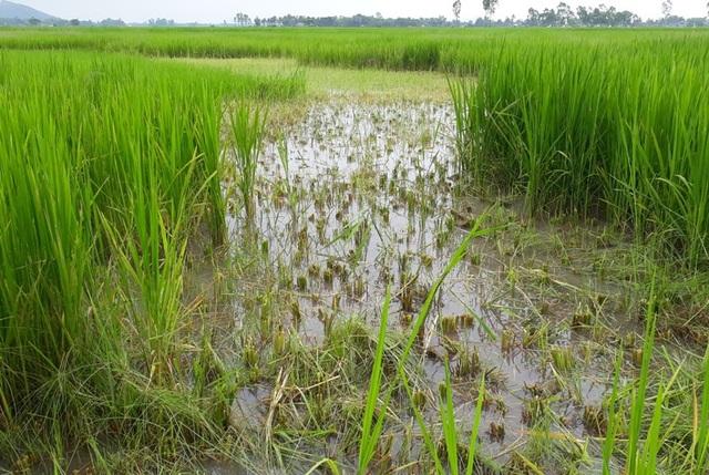 Nhiều ruộng lúa phải cắt bỏ vì lúa ma