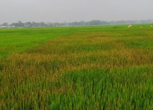 Ruộng lúa của gia đình chị Nam bị phun thuốc cỏ cháy