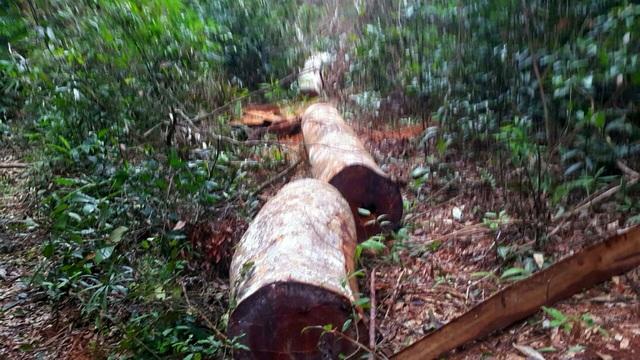 Hiện trường vụ phá rừng tại huyện Kbang