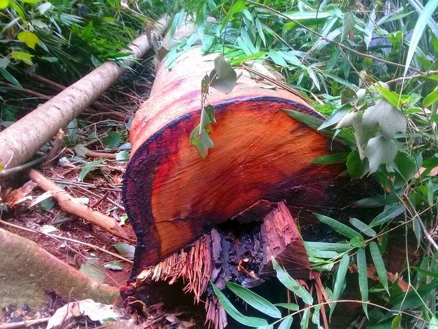 Nhiều cây gỗ khủng bị xẻ thịt không thương tiếc tại huyện Kbang