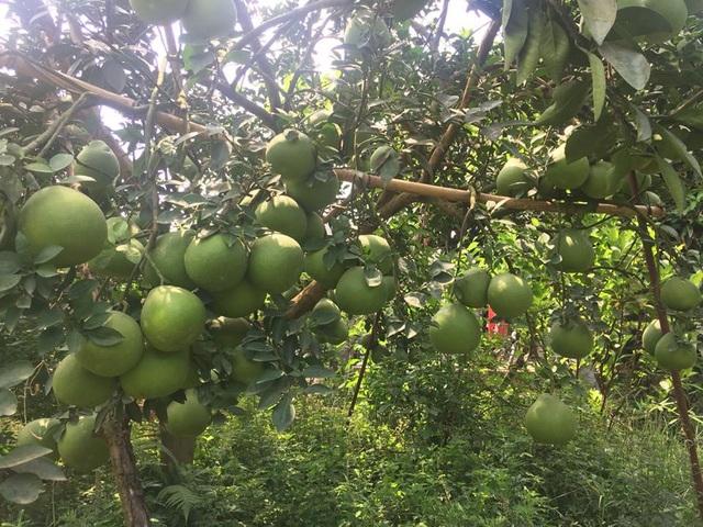 Hè đến rủ nhau về Đồng Nai ghé thăm làng bưởi xanh mướt mát - 1