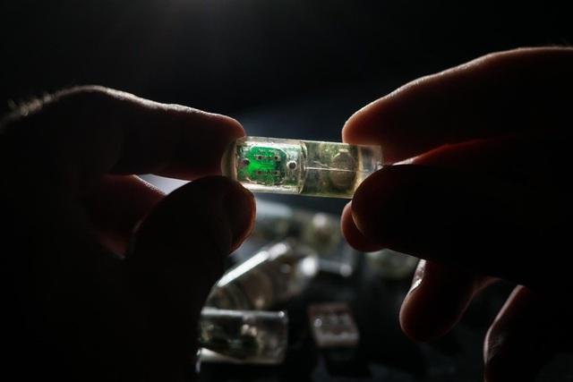 Loại cảm biến nuốt được này bên trong có chứa các vi khuẩn, được lập trình để cảm nhận sự chảy máu trong ruột, và gửi thông tin đó ra ngoài qua sóng vô tuyến. Ảnh: Lillie Paquette, MIT.