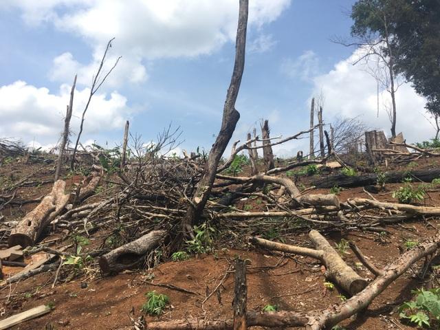 ngổn ngang rừng bị phá tại lâm phần của công ty Khang Nam