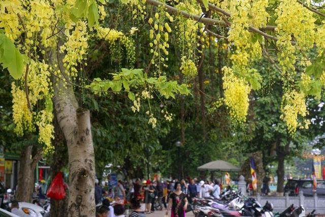 Hoa muồng hoàng yến nhuộm vàng con đường ven hồ Hà Nội - 11