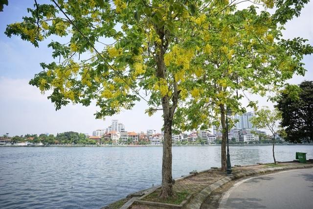Hoa muồng hoàng yến nhuộm vàng con đường ven hồ Hà Nội - 13