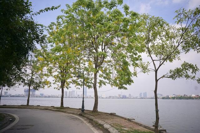 Hoa muồng hoàng yến nhuộm vàng con đường ven hồ Hà Nội - 14