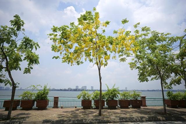 Hoa muồng hoàng yến nhuộm vàng con đường ven hồ Hà Nội - 15