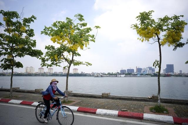 Cây muồng còn có tên Osaka hay Osaka hoa vàng, phát triển tốt ở nơi có nhiều nắng và thoát nước tốt. Cây không thích hợp với điều kiện khí hậu khô cằn hay giá lạnh mặc dù chịu được hạn và mặn.