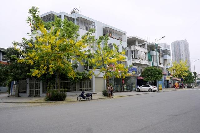 Một vài khu đô thị ở Hà Nội cũng được trồng khá nhiều muồng, đến mùa hoa nở trông rất đẹp mắt.
