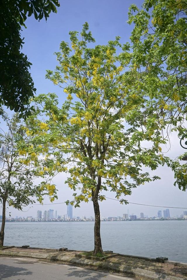 Hoa muồng hoàng yến nhuộm vàng con đường ven hồ Hà Nội - 7