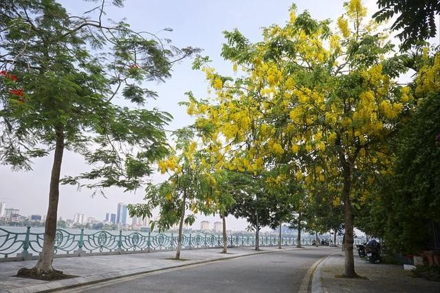 Hoa muồng hoàng yến nhuộm vàng con đường ven hồ Hà Nội - 8