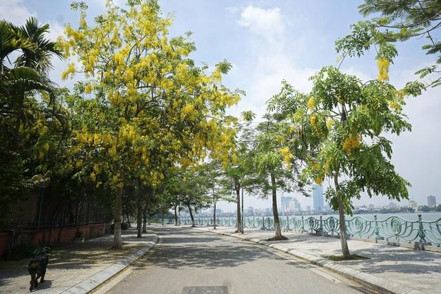 Hoa muồng hoàng yến nhuộm vàng con đường ven hồ Hà Nội - 9