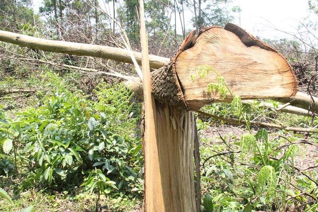 Vườn keo của gia đình bà Chiến đã trồng hơn 10 năm bị ông Thiết về chặt phá