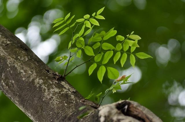 Người dân sinh sống ở phố Trần Hưng Đạo cho biết, tuổi thọ của một số cây sưa có thể lên tới 60 đến 70 năm.