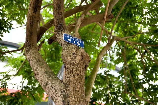 Trong số 157 cây xanh sẽ chặt hạ hoặc đánh chuyển, có 12 cây sưa đỏ quý.