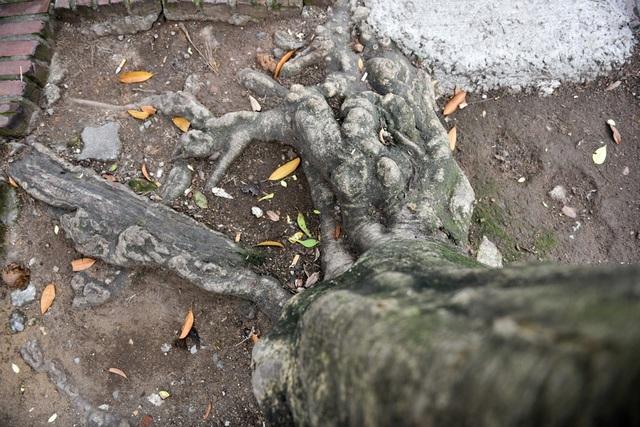 Cây sưa lâu năm có một phần rễ nổi lên mặt đất, hình dáng cổ thụ.