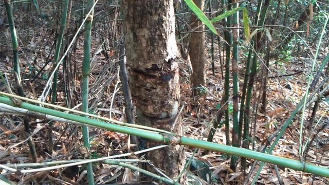 Những dấu được các đối tượng lâm tặc quấn cáp kéo gỗ trong rừng