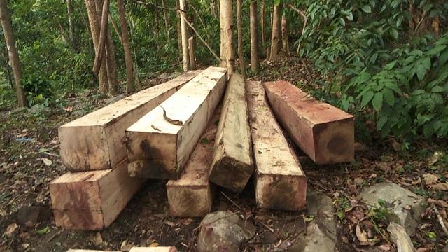 Những gốc cây cả trăm tuổi bị xẻ thịt không thương tiếc