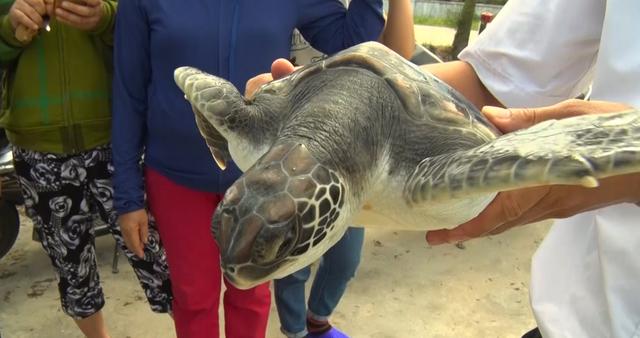 Con rùa biển sau khi được ngư dân Dũng đưa lên bờ có nhiều người đến trả giá tiền triệu nhưng anh quyết không bán mà thả nó về đại dương.