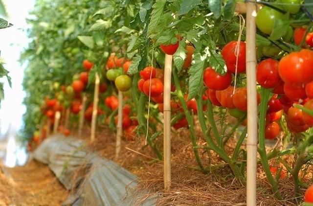 Sang Hàn Quốc hái ớt, cà chua lương 33 triệu đồng/tháng - 1