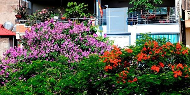 Cứ đầu tháng 5, những cây hoa bằng lăng lại cùng phượng vỹ bắt đầu nở cánh biếc gọi hè về.