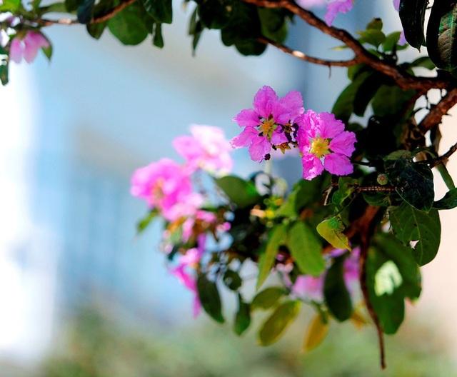 Mùa bằng lăng nhanh đến và cũng nhanh đi. Nhưng sắc hoa tím biếc ấy đã điểm xuyến cho mùa hè ở Thủ đô thêm đáng nhớ.