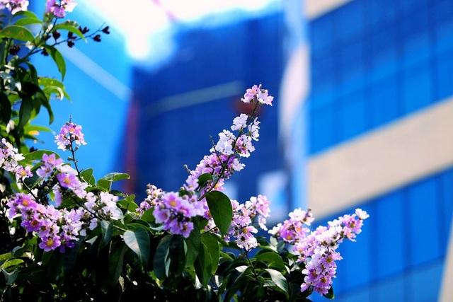 Bằng lăng được trồng đan xen trên khắp phố phường Hà Nội, tạo nên một bức tranh hài hòa, lãng mạn.