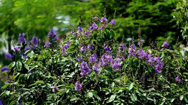 Sắc tím của hoa khiến không gian như dịu mát hơn trong những ngày hè nắng chói chang.