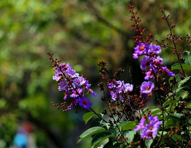 Thời điểm này, những nụ hoa bằng lăng chúm chím nở, khoảng 2 tuần nữa, bằng lăng sẽ nở rộ trên nhiều tuyến phố của Thủ đô.