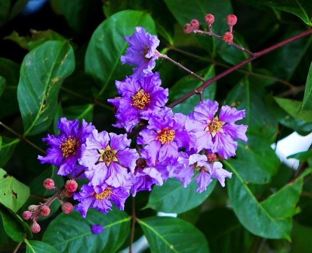 Giữa cái nắng vàng ươm, những bông hoa bằng lăng nở thành từng chùm tím rực rỡ.