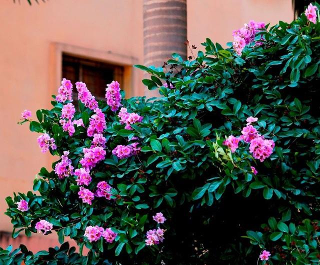 Sắc tím tượng trưng cho sự chung thủy, ngây thơ và nhiều người xem bằng lăng là loài hoa của mối tình học trò.