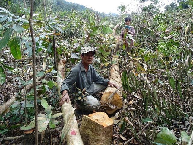 Vụ phá rừng ở hai tiểu khu 310, 311 rừng huyện Sông Hinh để làm dự án chăn nuôi bò thịt chất lượng cao