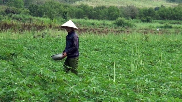 Anh Phạm Hồng Phương cho rằng giá sắn cao, dễ trồng ít chi phí nên mới chuyển đổi từ mía sang sắn