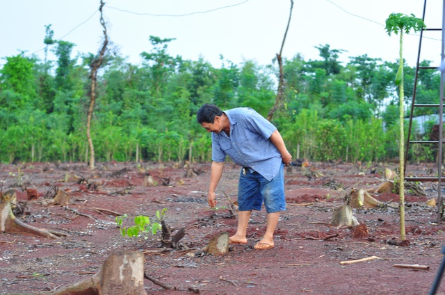 Hộ ông Đặng Quang Hải (ấp Thọ Lộc, xã Xuân Thọ, huyện Xuân Lộc) là một trong những hộ đã bán rễ tiêu cho thương lái.