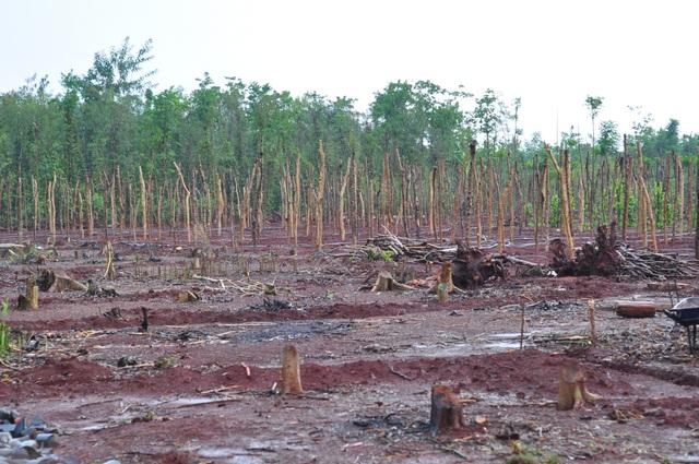 Một vườn hồ tiêu đã bị chặt, đào rễ bán cho thương lái