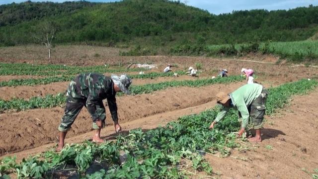 Vì mới trúng vụ dưa Đông Xuân nên ông Huệ tiếp tục đầu tư trồng dưa